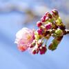 早咲きの桜 02/23