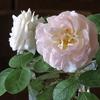 薔薇と痛み