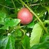 パッションフルーツの越冬