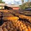 【新竹・新埔】干し柿で有名な客家の街へ日帰り旅行