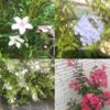 【実際に育てた】『真夏』に花が咲く暑さに強いおすすめ『庭木』まとめ 7選