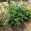 初心者の家庭菜園 ミニトマトの育て方
