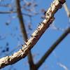 巨大なトゲ植物 カラスザンショウ
