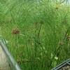 新宿御苑で見た植物⑬ カミガヤツリ