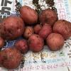 第一回ジャガイモ掘り大会