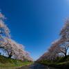美しい二重奏:舟川べりの桜並木
