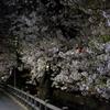 【レポート】宿河原~久地間の二ヶ領用水で桜を見てきました。川崎市の超お勧め花見スポットです。