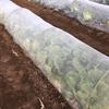 60日型のハクサイを収穫してみた