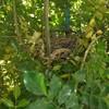 庭木に「キジバト」の巣を発見