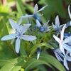 """チョウジソウ 目立たない中にも気品を感じさせてくれる花. 茶花としても知られていますが,葉,茎,種子にはヨヒンビンなどを含み有毒植物とされています.ヨヒンビンは,中央アフリカのアカネ科植物ヨヒンベから発見され物質で,""""アドレナリン放出を抑制するアドレナリン受容体""""(α2受容体)を遮断する作用を持ちます.ただし,多量に使用した場合にはアドレナリンの作用を抑え,これが毒性の本体と考えられています.キョウチクトウ科の花たち5"""