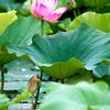 ハスの花にヨシゴイ