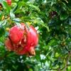 ザクロ(石榴皮)ってどういう植物なの!?海外は栽培、使用法は?その1