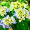 今日の撮りPhoto - 花 LUMIX G VARIO 12-60mm/F3.5-5.6 -
