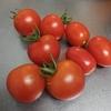 【ミニトマトの収穫】ヘタのまわりまで赤くなったら食べごろ。今後もいっぱい採れるようにたまに追肥を!