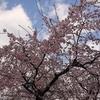 108 仙台市でお花見