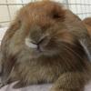 我が家のもちくん【ウサギ】ロップイヤーラビットとコンセントに潜む脅威