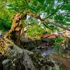【関西珍百景】根っこが川をまたぐ丹波市の木の根橋