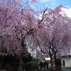 大仏記念公園のしだれ桜(3月下旬~4月上旬)
