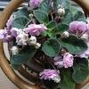 セントポーリアが満開です。5月まではこんな感じで咲いてくれます。