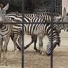安佐動物園とタンザニアの思い出赤ちゃんシマウマはどこ?