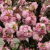 造幣局@大阪で桜の通り抜けをしてきた(1)
