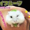 【ハムスター 動画】キウイフルーツでビタミン摂取!食べてる姿が可愛い♪ #60