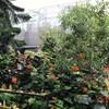 モントリオールの植物園〜蝶々の放し飼いイベント
