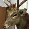 部屋が一気にゴージャスに!我が家に鹿のトロフィー(剥製)を買いました。