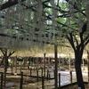 江南 藤まつり2018年4月30日の曼陀羅寺公園の藤の花の様子とか。
