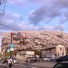 山ひとつ丸ごと桜の世界! 弘法山古墳!