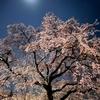 春の京さんぽ 桜の季節の夜景を楽しむ