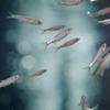 オイカワOpsariichthys platypus