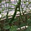 【初心者による家庭菜園】収穫と失敗