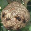 袋井市で庭の木にできたスズメバチを駆除してきました