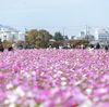 奈良県の絶景スポット。コスモス満開の藤原宮跡で秋晴れの空を撮影する。