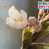 長野では2日に桜が開花!2002年に並んで観測史上タイの早さ!!
