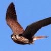 青空に飛ぶチョウゲンボウ