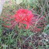 彼岸花が初めて咲いた写真。沖縄の庭です。