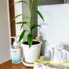 観葉植物の植え替えと食器洗い乾燥機の目隠し