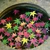 🍂紅葉とバラの旧古河庭園🍁