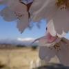 コンデジで桜を撮影【DSC-WX350】