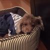 保護犬トイプードル、我が家に来て3ヵ月がたちました。涙の日々。