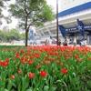 横浜スタジアムと横浜公園のチューリップ!春の横浜観光の名所