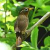 ガビチョウという鳥