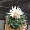 いきなり咲いちゃうサボ花