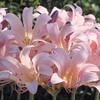 今日の誕生花「ナツズイセン」開花時に葉っぱがないからハダカユリと言われる!