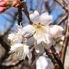 桜咲くのが3月中?