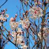 高崎城址公園周辺散歩 中央通りのミモザ・小彼岸桜・おかめ桜・レンギョウ・ハクモクレン