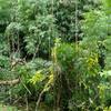 来年はシホウチク(カンチク)を食べるのだ〜出雲国産物帳にみる竹類