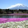 【本栖湖!富士芝桜まつり!】ゴールデンウィークに富士山×芝桜はいかがですか?